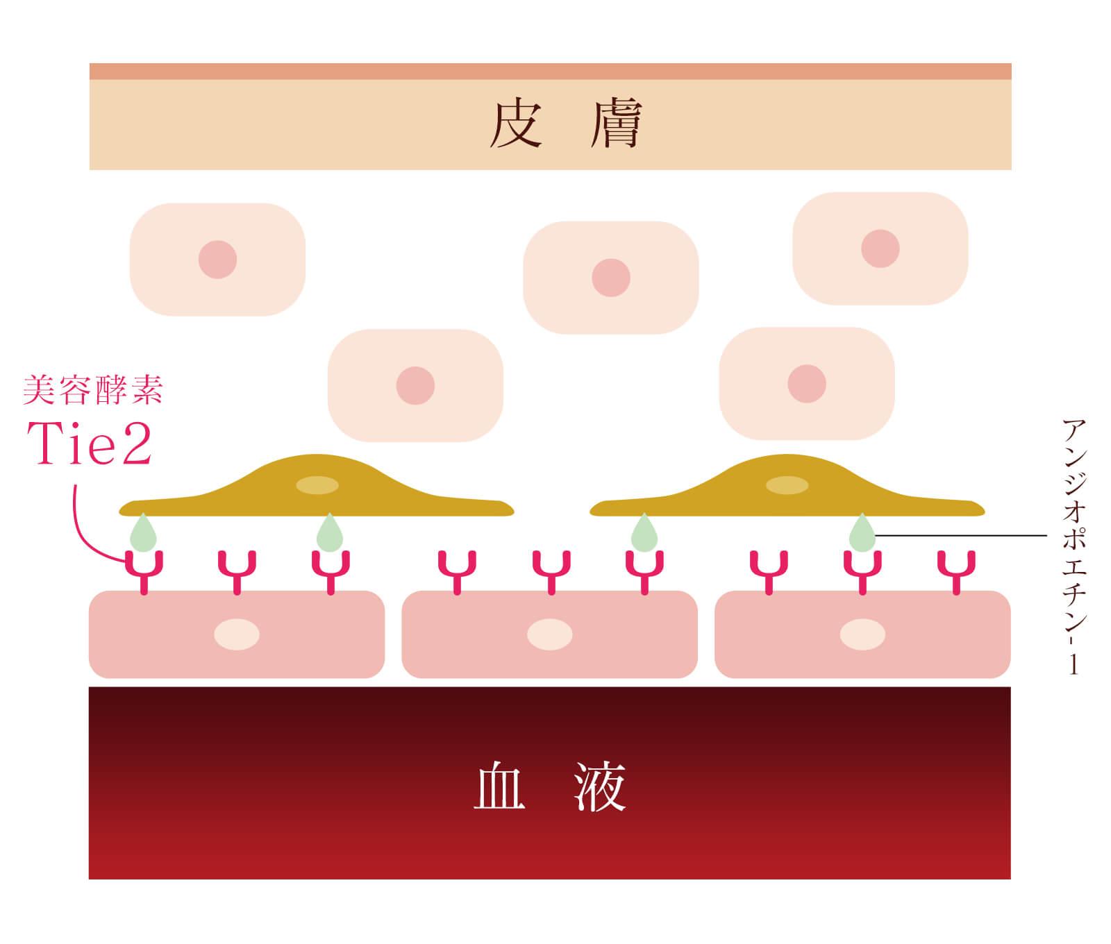 美容酵素Tie2